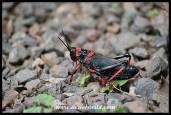 Poisonous locust