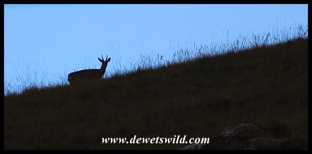 Mountain reedbuck in silhouette