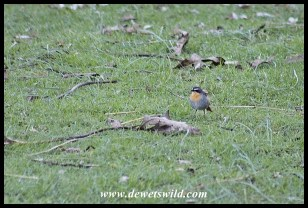 Cape Robin-Chat in the garden at Giant's Castle Camp