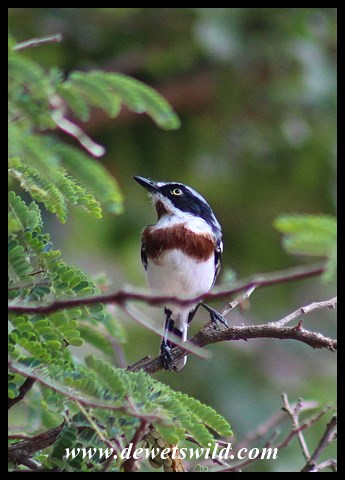 Chinspot Batis (female)