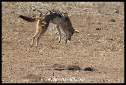 Jackal jumping to catch a mole