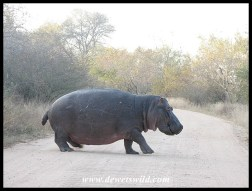 Hippo on land showing their short legs and portly body
