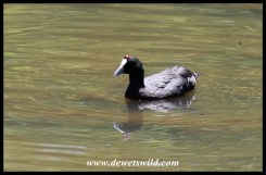 Red-knobbed Coot