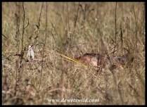 The cheetahs' blesbok meal