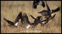 Pied crows at the remains of the blesbok