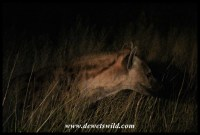 Spotted Hyena on a night drive