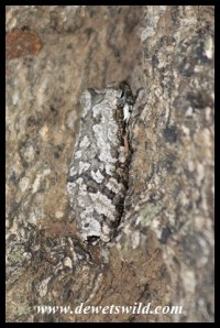 Well camouflaged tree frog