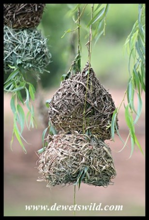 Southern Masked Weaver nests