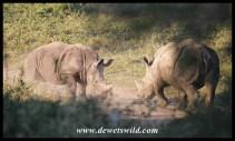 White Rhinos - Hluhluwe-Imfolozi Park