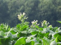 Tobacco Blooms
