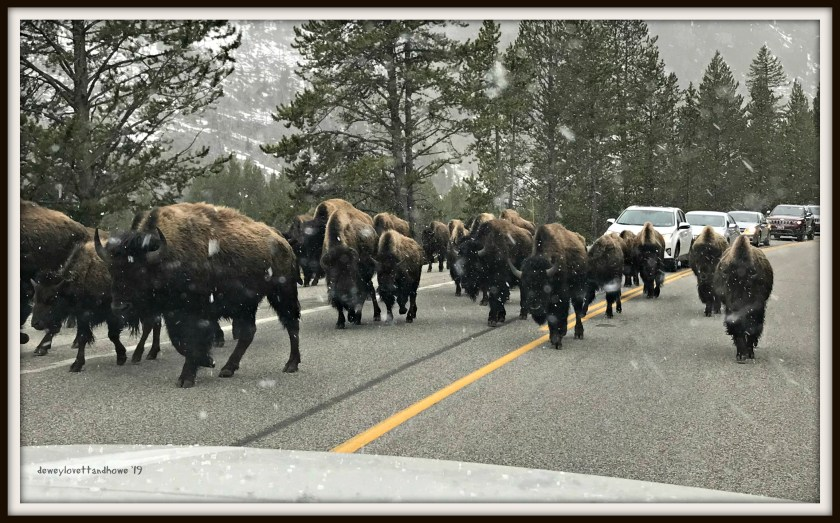A Bison Jam on our 1st day at Yellowstone National Park!