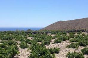 Een Assyrtiko-wijngaard