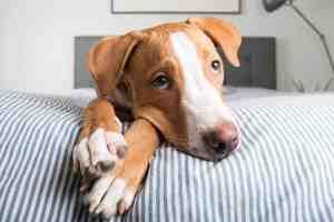 Home Remedies For Dog Vulva Dermatitis