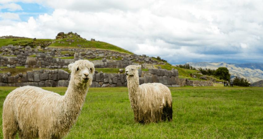 Alpakas vor Sacsayhuamán.