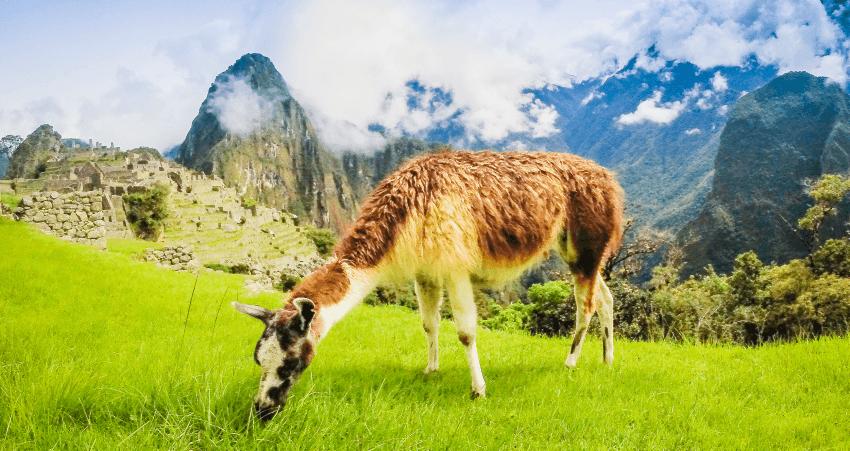 Lama vor Machu Picchu.