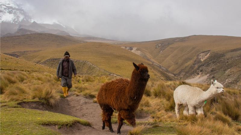 Ein Alpakahirte mit zwei seiner Alpakas am Chimborazo-Vulkan. Die Arbeit eines Alpakahirten beruht auf jahrhundertalter Tradition in den Andenländern, geriet aber lange in Vergessenheit.