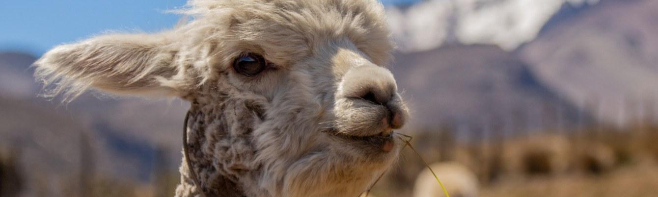 Alpakahöfe in Deutschland – Das Leben ist eine Alpakafarm!