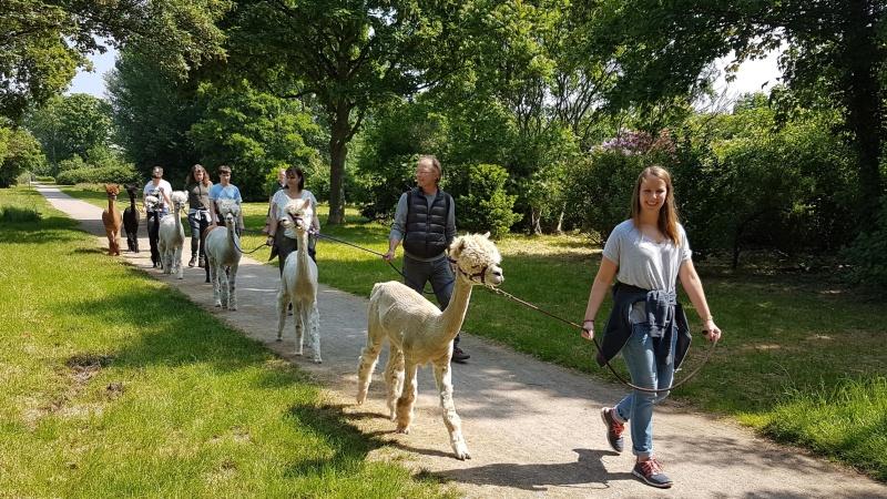 Auch zwischen Düsseldorf und Duisburg kann man auf dem Land mit Alpakas wandern! Bild: Rheinland Alpakas