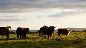 cattle vs pets