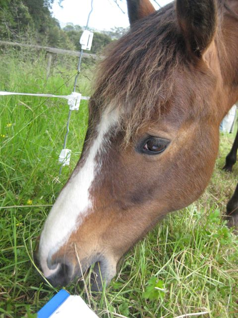 The Kaimanawa Pony at meal time.