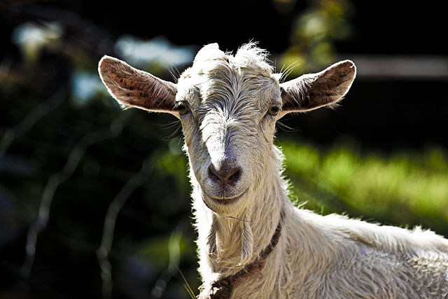 Goat staring at you.