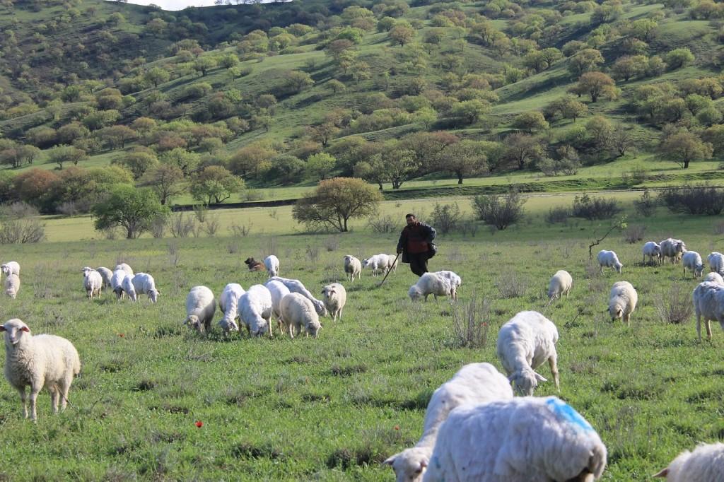 Shepherds are leaving Vashlovani after winter.