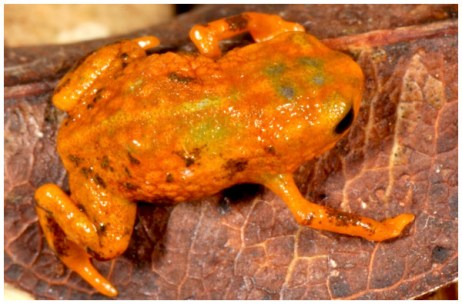 Brachycephalus mariaeterezae in life.