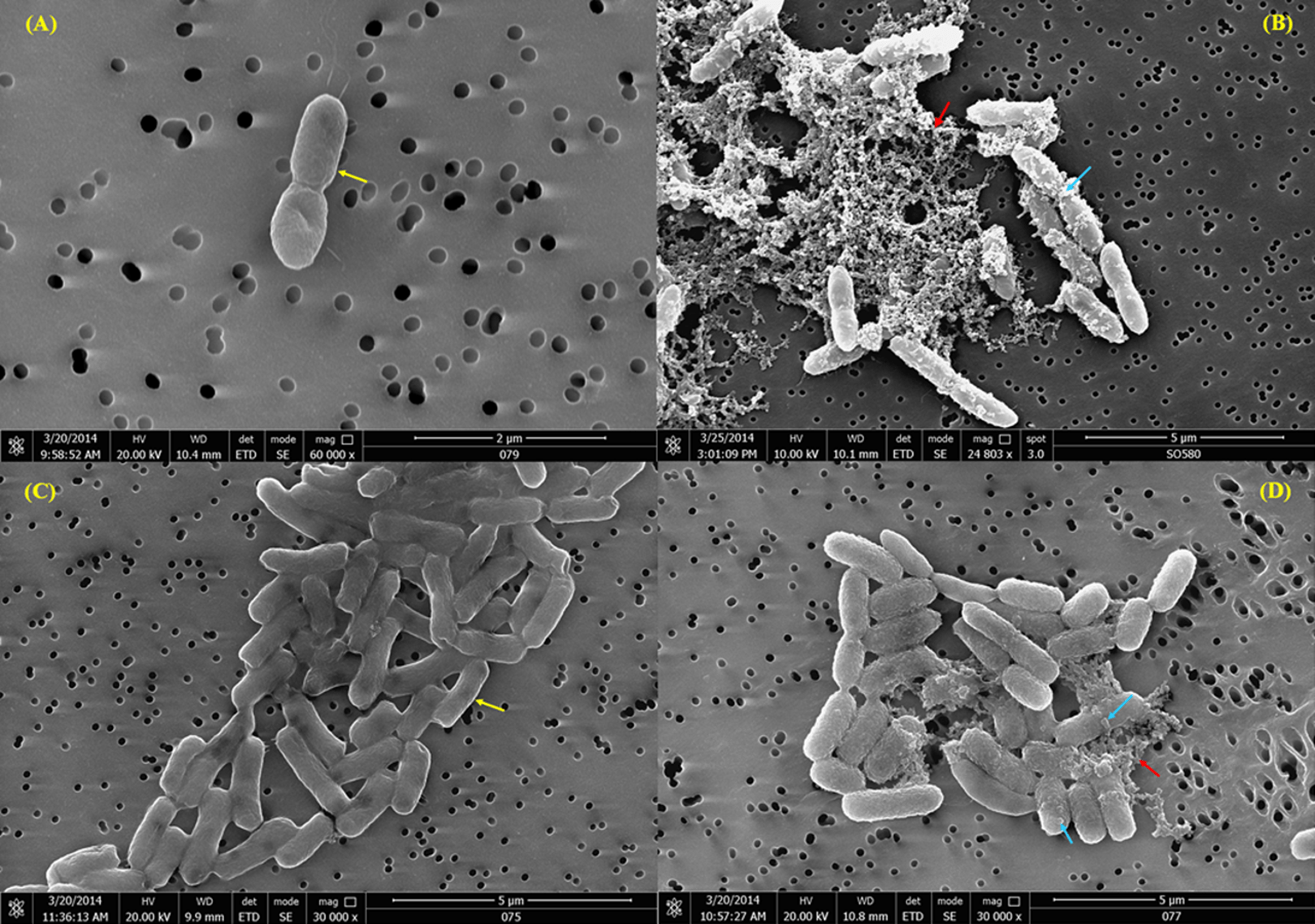 Antimicrobial Activity Of Tachyplesin 1 Against Burkholderia Pseudomallei An In Vitro And In
