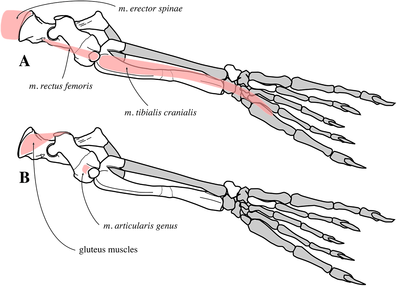 Reappraisal Of The Extinct Seal Phoca Vitulinoides From