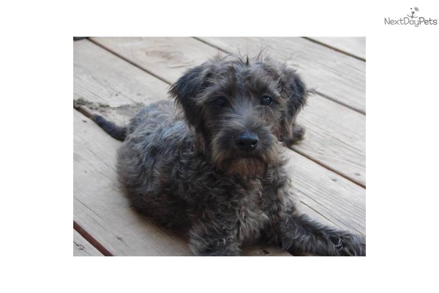 Soft Coated Wheaten Terrier puppy for sale near Joplin, Missouri ...