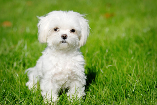 maltese puppy for sale near me teacup maltese puppies for sale near me 7982