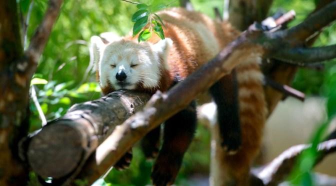 Red Panda Laying On Branch