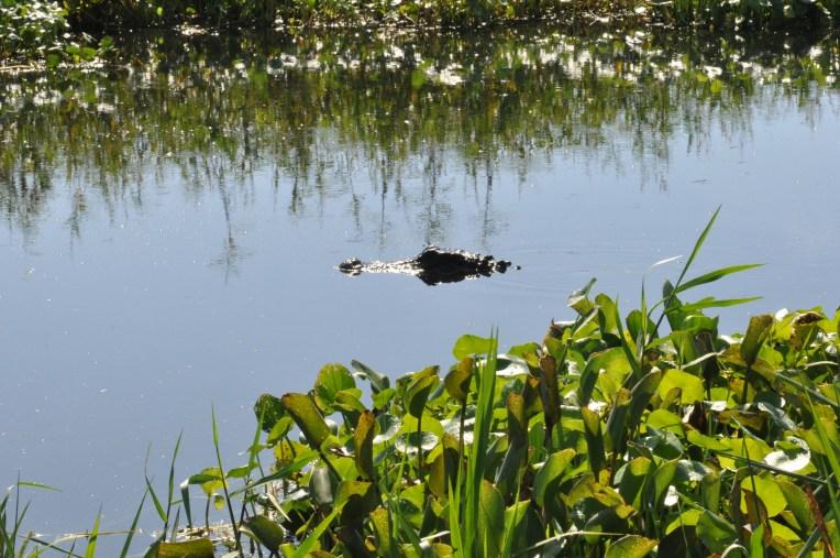 alligator_la chula (8)