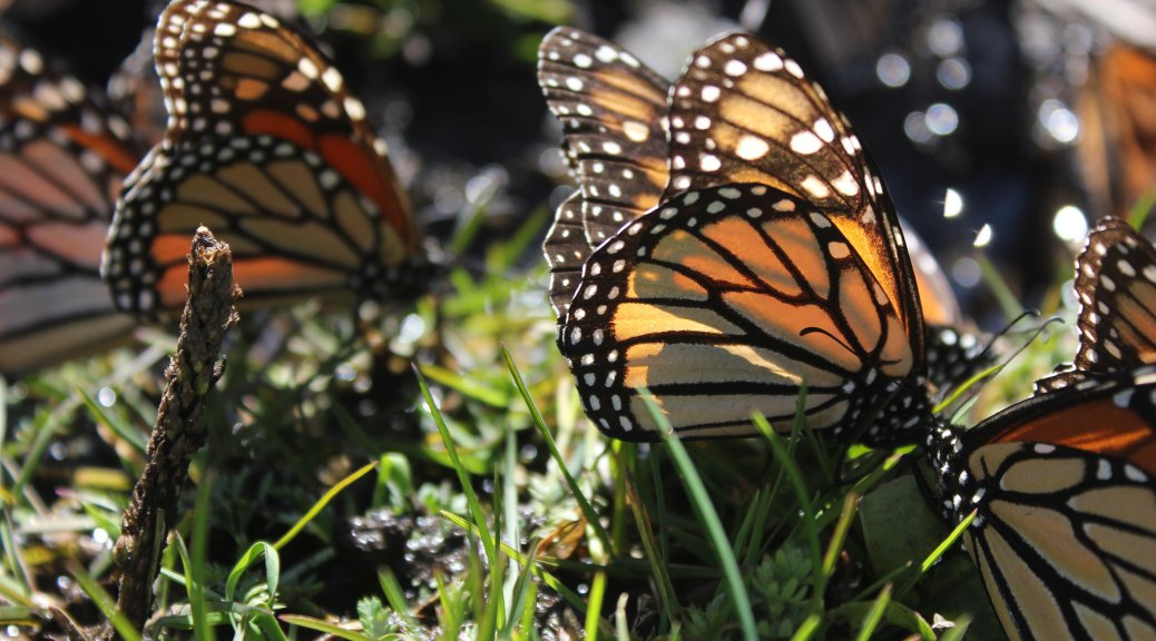monarch butterflies.