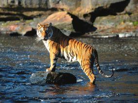 TigerBengal