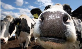 Cloned-cow-milk-006
