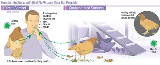 AI (Avian Influenza) Terbaru Terus Memburu Dan Diburu