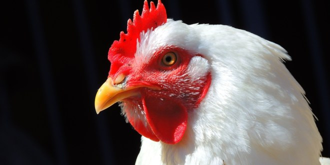 Ayam Pedaging Berubah Peternak Harus Improve