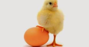 Berhasil Di Pemeliharaan Ayam Pedaging Dengan Strategi 4-4-3