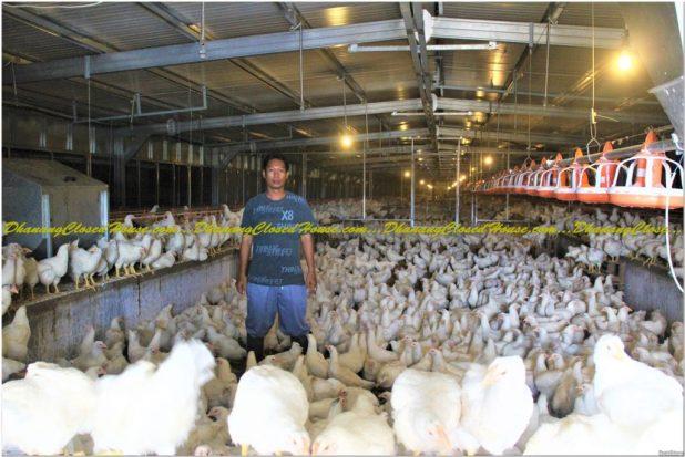 kajian Tentang Kandang Ayam Modern