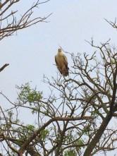Stab eagle