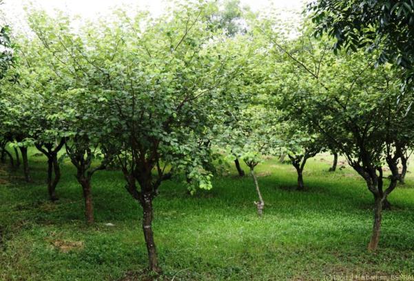 Jujube orchard