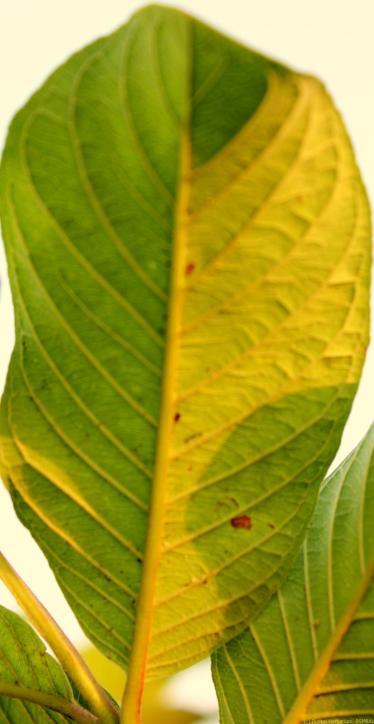 K1600_BARI peyara. leaf. ventral_2