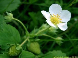 strawberry white