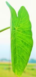 k1600_kochu-variety-bordhoman-leaf-dorsal