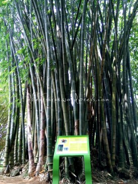 Rumpun Bambu.