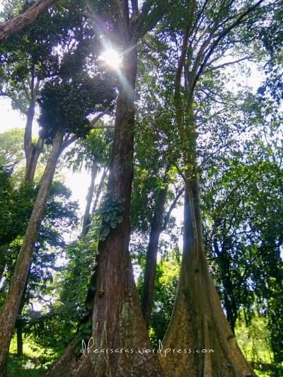 Pohon Jodoh (Couple Tree). Disebut begitu karena 2 pohon ini berbeda jenis tetapi ditanam berdampingan pada tahun 1866. Yang satu Meranti Tembaga sedangkan yang satunya Beringin Putih. Karena penampakannya mirip, masyarakat sekitar nyebutnya Pohon Jodoh. Udah, jangan baper.