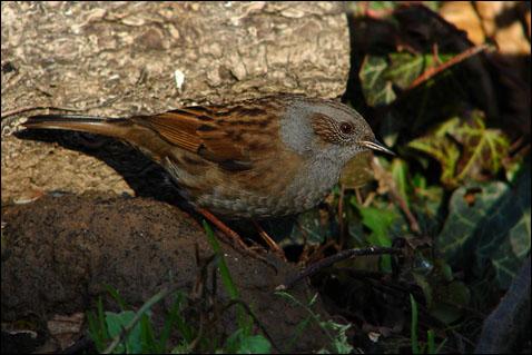 Oiseaux des jardins mille oiseaux - Graine de piment oiseau ...