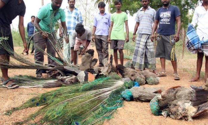 madurai 48 peacock died