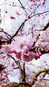 Cherry Blossom; closeup